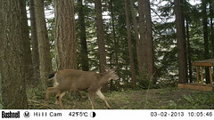Black-tailed deer (artlessfun) Tags: kalama columbiablacktaileddeer artlessfun cowlitzcountywa trailcamphotos