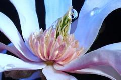 Sumptuous spring (DMCleveland) Tags: flower macro spring waterdrop blossom dogwood flowermacro waterdropmacro roccotaco