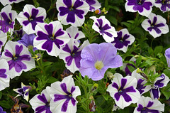 Purple and white petunia flowers (Perl Photography) Tags: flowers plants nature floral beauty garden petals spring flora colorful purple gardening blossoms fragrant petunia blooms springtime blooming floralbackground petuniagarden