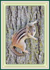 Mr. Personality (bigbrowneyez) Tags: park canada tree cute texture nature animal design pattern quebec sweet stripes ottawa tail posing chipmunk treetrunk bark precious friendly frisky bello andrewhaydenpark thegalaxy mrpersonality bateisland matchingstripes rememberthatmomentlevel1
