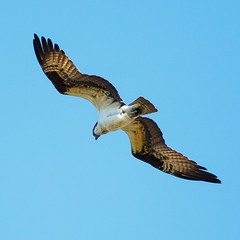 Osprey gliding around