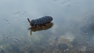 Podura aquatica (Schwarzer Wasserspringschwanz) Colembola