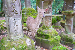 Japan 2016 summer (82 of 145) copy (itsacurse) Tags: wildlife temple historical animal nara japan deer