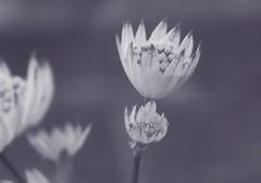 Faded  Cups (nigelphillips) Tags: bw fade flower macro bokeh nature blur