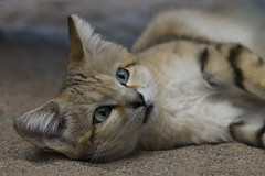 Sand Cat (Trine K Photography) Tags: blue red summer portrait white detail macro green art nature animal animals norway closeup contrast cat canon sweden hiking wildlife lanscape wildlifephotographer naturecloseup canonef70200mmf28lusm wildlifephotography animalcloseup canon70d trinek trinekphotography