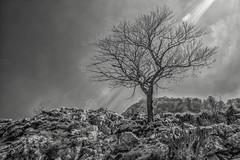 Lonely Tree (Jan Giesselink) Tags: blackandwhite mountain sunshine spring spain rocks branches asturias es drama lonelytree spanje picosdeeuropa cangasdeons principadodeasturias