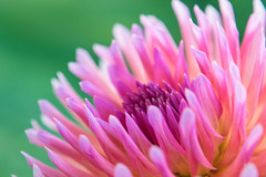 Day of the Dahlia (3) (tquist24) Tags: bonneyvillemillcountypark indiana nikon nikond5300 outdoor bokeh dahlia flower geotagged macro pretty upclose bristol unitedstates