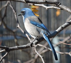 California Scrub Jay (hoppedscott) Tags: birding bird scrubjay californiascrubjay jay california santacruz outdoors nature