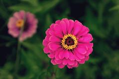 sometimes ... (try...error) Tags: yellow gelb flower blume summer sommer