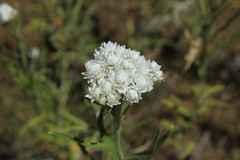 IMG_8136 (TMM Cotter) Tags: rathtrevor beach provincial park parksville bc pearly everlasting wildflower anaphalis margaritacea