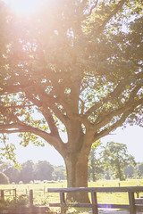 Late summer flare (WillemijnB) Tags: tree boom arbre baum nature natur natuur eos70d 50mm field champ veld trees bomen arbres flare hek fence foliage twente netherlands outdoor holland
