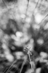 Sleepy Head (belleshaw) Tags: blackandwhite ranchosantaanabotanicgarden nature bloom seeds blades rays detail bokeh plant