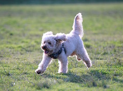 Sid goes for a run! (simon60d) Tags: dog pooch poodle run play fun outdoors park animal pet