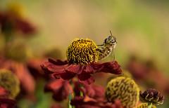 Ready for take off! (susie2778) Tags: sussexprairiesgarden olympus omdem1 60mmmacrof28 flower bee macro colourful helenium heleniumpipsqueak red orange garden