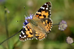 Painted Lady (TonyTeeBee) Tags: worcestershirewildlifetrust butterfly paintedlady nature theknappandpapermillreserve insects summer macro