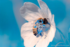 bee in infrared (Brian M Hale) Tags: bee bees apiary infra red infrared ir brian hale brianhalephoto blue aqua teal closeup close up macro flower extension tube extensiontube outdoor summer ma mass massachusetts boylston newengland