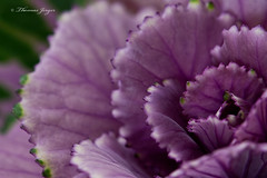 Welcoming 0206 Copyrighted (Tjerger) Tags: nature black closeup flora flower green macro plant purple winter wisconsin decorativekale kale welocoming