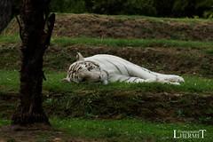 Tigre blanc - Zoo La Fleche - 20160817 (0951) (laurent lhermet) Tags: sel55210 zoo zoodelafleche tigre tigreblanc