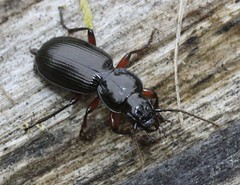 Pterostichus madidus carabidae (BSCG (Badenoch and Strathspey Conservation Group)) Tags: gos