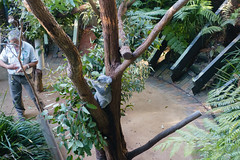 Koala at the Taronga Zoo in Sydney (Mister Bunny) Tags: australia sydney tarongazoo zoo mosman newsouthwales au koala