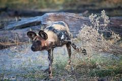 DT-168 (Photography by Brian Lauer) Tags: botswana africa safari safaris wildlife travel nikonphotography nikon lion elephant hippo fisheagle saddlebilledstork piedkingfisher lilacbreastedroller wilddog