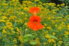 Nasturtium in a sea of goldenrod (Todd Boland) Tags: flowers goldenrod solidago tropaeolum nasturtium