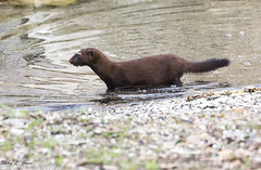 American Mink (Ricky L. Jones Photography) Tags: canon teamcanon mammal mammals animals wisconsin wildlife wildlifephotography nature naturephotography american north mink racine