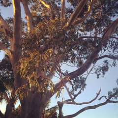 August day 18: Early (global.local) Tags: instagramapp square squareformat iphoneography uploaded:by=instagram rise fmsearly fmsphotoaday early morning morningsun gnarly tree eucalyptus nature sydney gumtree gum innerwest natureshots