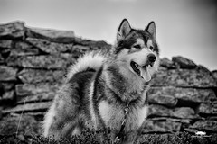 Agis black and white (huddart_martin) Tags: dog malamute alaskanmalamute blackwhite blackandwhite monochrome pet sonya99 outdoor outdoors