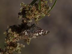 A Checkered Life (harefoot1066) Tags: amaranthaceae amaranthus amaranthusfimbriatus fringedamaranth lepidoptera papilionoidea hesperiidae pyrginae desertcheckeredskipper pyrgusphiletas