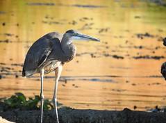 Heron (sonstroem) Tags: heron greatblueheron ardeaherodias water waterfowl nature natural california calaverasriver wildlife