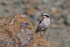 Northern Wheatear (keynowski) Tags: northernwheatear kuyrukkakan oenantheoenanthe ngc animalplanet animal bird nature canon70d canonef400mmf56lusm