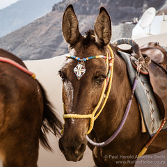 Donkeys Passing in the Streets of Fira, Santorini