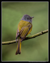 The Grey Headed Canary Flycatcher (AntoGros) Tags: grey headed canary flycatcher greyheadedcanaryflycatcher culicicapa ceylonensis culicicapaceylonensis yellow yellowbird yellowcolouredbird yellowish birds bird birding birdsofnilgiris birdingnilgiris birdingooty indian indianbirds india iridescent insectivorous nature nilgiris nilgiri nilgirisbirds pretty beautiful beautifulbird beauty cute sal sony sonya99 sonysal70400g sonylens sal70400g a99 antony antonygrossy