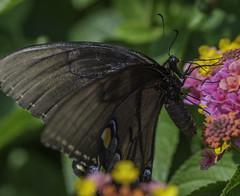 Butterfly_SAF0630-1 (sara97) Tags: butterfly copyright2016saraannefinke flyinginsect insect missouri nature outdoors photobysaraannefinke pollinator saintlouis towergerovepark urbanpark