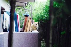 Today's Cat@2016-09-30 (masatsu) Tags: cat thebiggestgroupwithonlycats catspotting pentax mx1