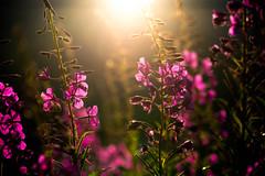 Contre-jour pour un pilobe (iggyshoot) Tags: contrejour nature flower flowers fleurs sun soleil extrieur plante pilobe arc1950 lesarcs pink summer nikon d610 reflex color colour outside