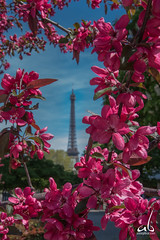 Eiffel through the flowers || Paris, France (anoopbrar) Tags: france paris eiffel tower eiffeltower tourdeeiffel landcape architecture building icon iconic monument pari trocadero art artistic sunrise sunset outdoor bluehour urban city clouds longexposure picturesque twilight explore landscapephotography night long exposure dusk citylights travel travelphotography fineart sun beautiful europe surreal ancient history beautifullandscape town landscape blue hour nature buildings sky sunlight cities