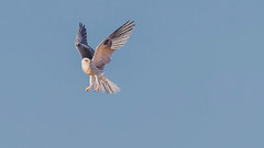 White-Tailed Kite doing what they do best... (sharp shooter2011) Tags: whitetailed kite whitetailedkite avianphotography birdinginthewild raptor raptorinflight birdinflight flight whitetailedkiteinflight