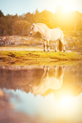 (ingrid.schnelle) Tags: canon eos 5d mark ii horse equine horsephotographer equinephotographer horseportrait nature outdoors outdoor norge norway sunset dreamy fairytale bokeh dof summer summertime 2016 pastel horsephotography equestrian equinephotography blue sea ocean water magic magical sky evening night fjording fjordhest hest fjordhorse nationalhorse ef85mm f12l usm reflection