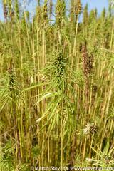Hennep, Cannabis sativa (Wolverlei/Martin Stevens) Tags: anevelde chanvrecultiv hanf hardenberg nederland netherlands overijssel vezelhennep bloemen cannabissativa flora flowers hemp hennep planten plants