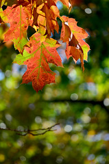 Present (James_D_Images) Tags: red oak quercus leaves fall autumn fallfoliage fallleaves fallcolour fallcolor backlit bokeh decay vancouver britishcolumbia