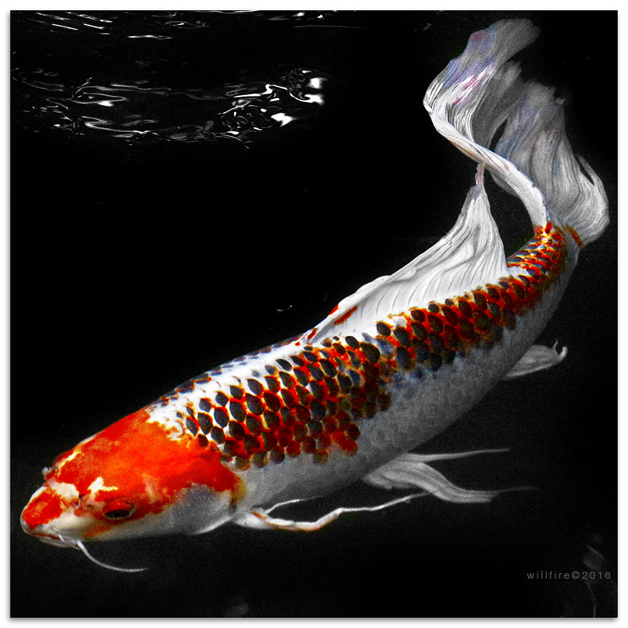 The world 39 s best photos of fish and nishikigoi flickr for Koi fish size