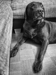 You are bobbyful (Simon Neutert) Tags: dog hund hunde dogs labrador king royale royal leica 15mm nik silverefex