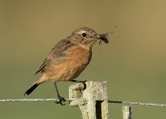 Stonechat - Saxicola rubicola (Gary Faulkner's wildlife photography) Tags: stonechat sussexbirds