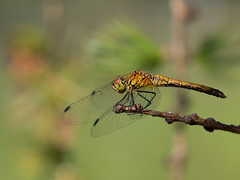 Blutrote Heidelibelle (Sympetrum sanguineum) (gerry_me) Tags: heidelibelle blutrot outdoor makro macro libelle dragonfly olympus omdem1 insekt fluginsekt