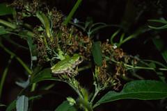 Night Visitor (EHPett) Tags: greytreefrog butterflybush amphibian flash night outsie wildlife connecticut