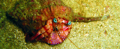 Dardanus (MaKuriwa) Tags: crustaceos