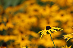 Rudbeckia, Bodnant Gardens (alison's daily photo) Tags: bodnantgardens northwales rudbeckia