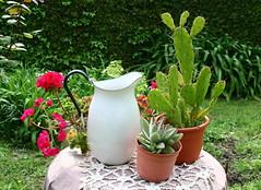 La vieja jarra de la abuela (leograttoni) Tags: jarra jar cactus jardn garden macetas pots plantas mesa table airelibre laplata buenosaires